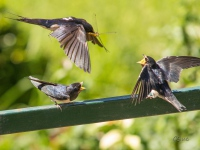Feeding swallows
