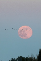 storks in front of the moonrise
