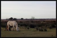 Cheval race Camargue